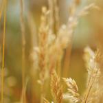Allium Ornamentale