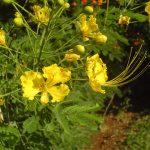 Poinciana (Caesalpinia)