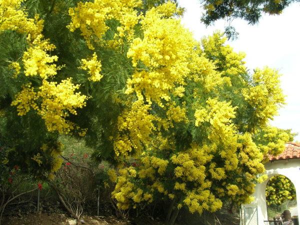 Alberello Dai Fiori Gialli.Acacia Consigli Coltivazione E Cura