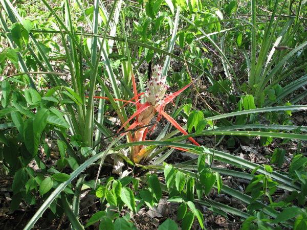 Bromelia sylvicola