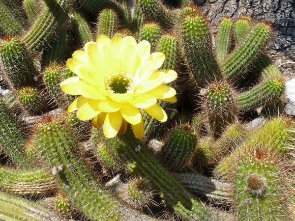 cactus huascha