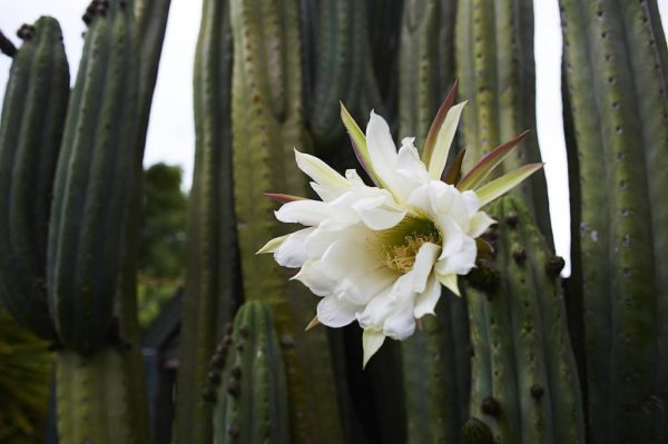 cactus scopulicola