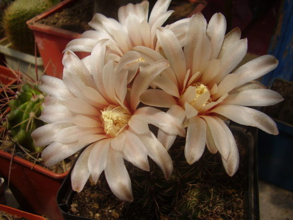 cactus gymnocalycium erinaceum