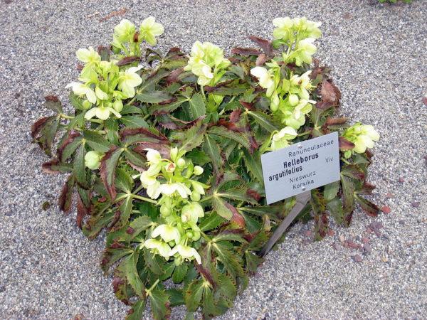 Rosa di Natale (Elleboro), specie argutifolius