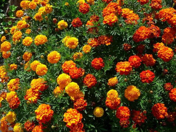 tagetes in giardino