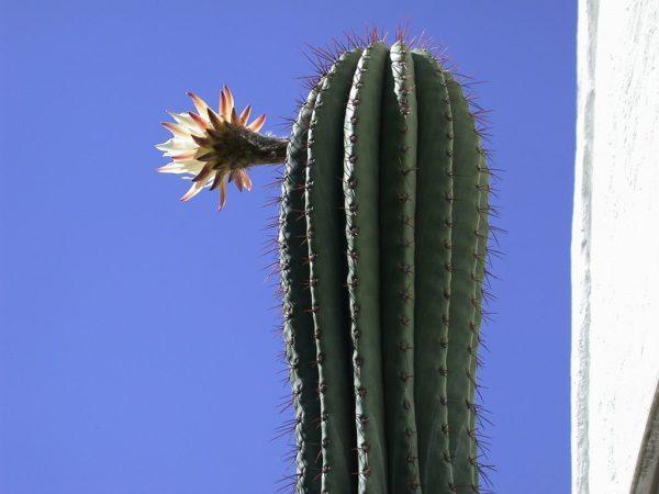 cactus pasacana
