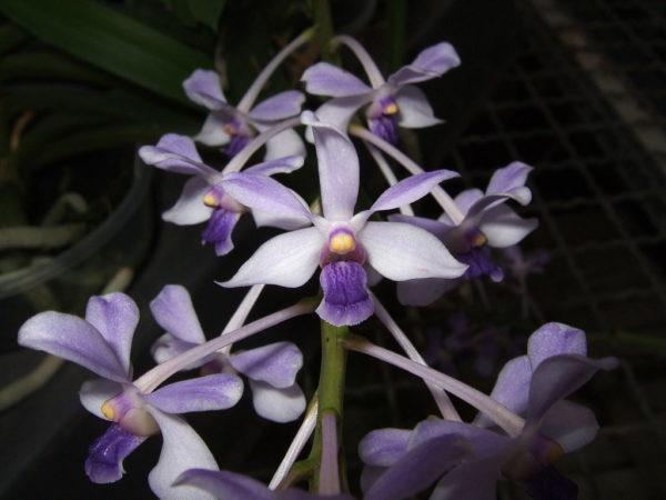 orchidea vanda coerulescens