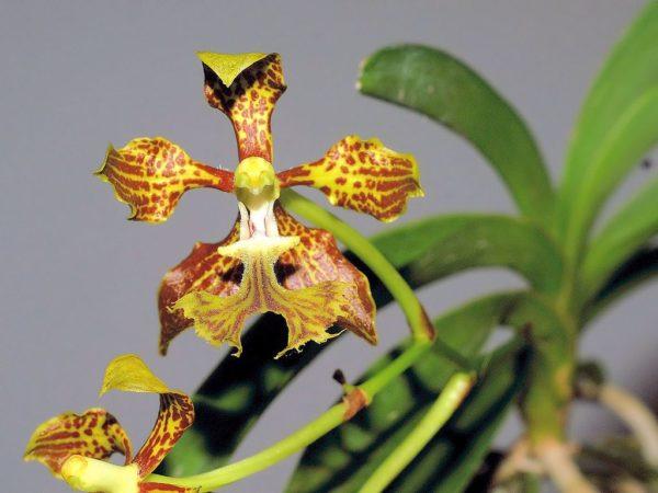 orchidea vanda roeblingiana