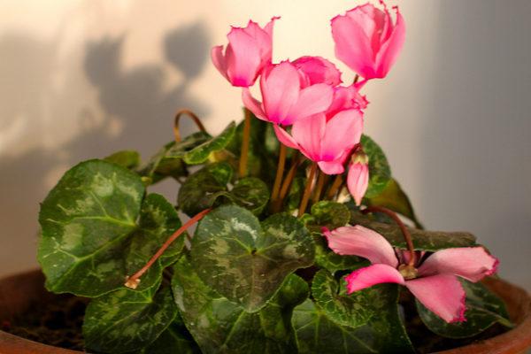 Ciclamino alpinum