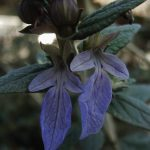 Teucrium fruticans (Azureum)