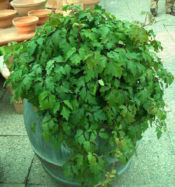 Cisso cissus consigli coltivazione e cura for Pianta dell appartamento da 300 piedi quadrati