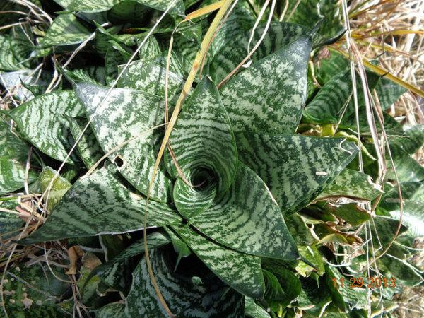 Sanseviera trifasciata Hahnii