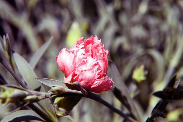 Dianthus x allwoodii