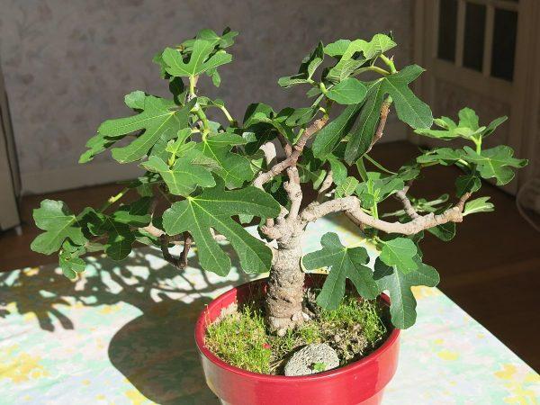Ficus bonsai carica