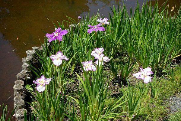 Iris rizomatosi non barbati: Iris ensata