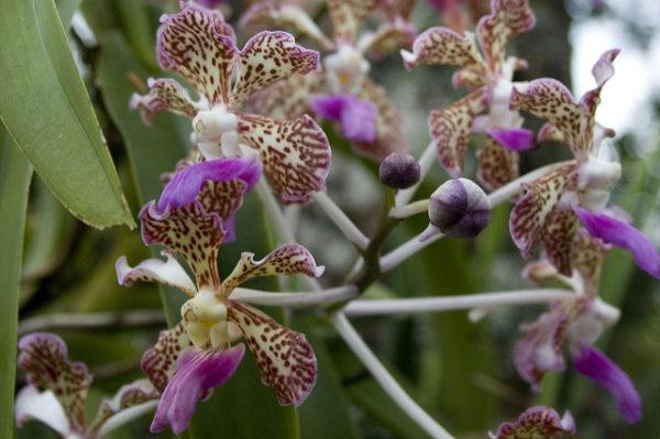 Vanda orchidea tricolor