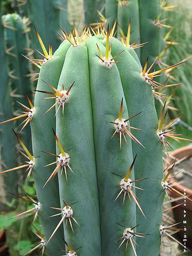 cactus macrogonus