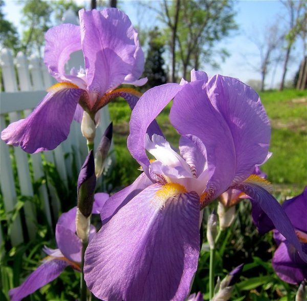 messa a dimora Iris in piena terra