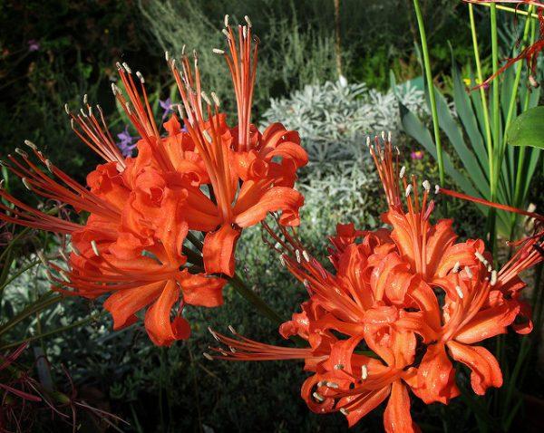nerine sarniensis con fiori rossi