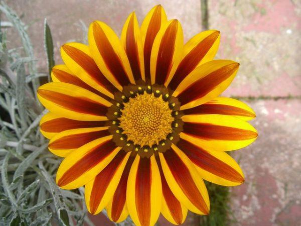 fioritura gazania