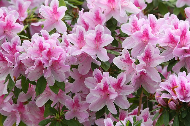 Azalea consigli coltivazione e cura for Cura azalea
