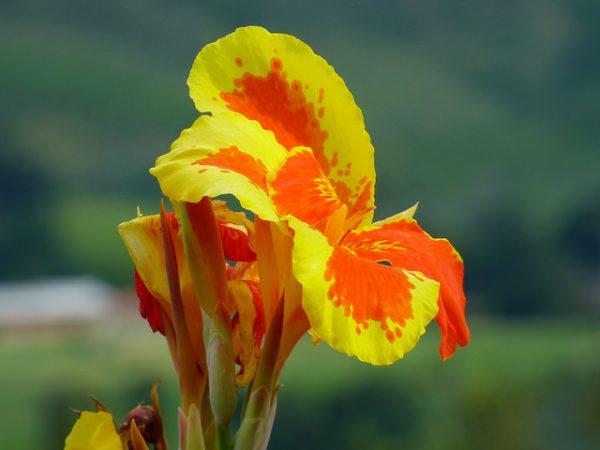 fioritura canna indica