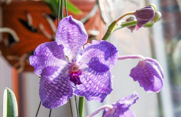 orchidea vanda luce