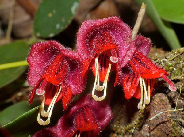 specie Eschinanto tricolor