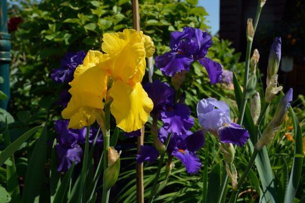 consociazioni Iris