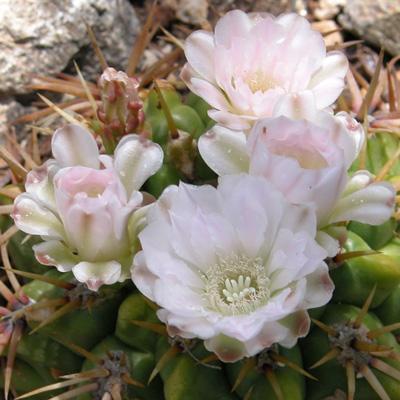 cactus gymnocalycium monvillei