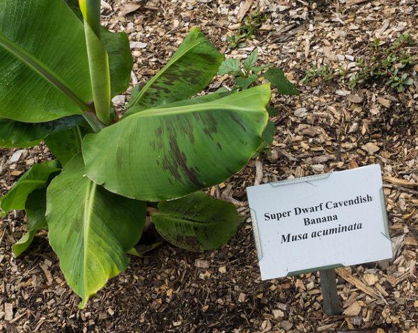 Banano nano: Musa Cavendish