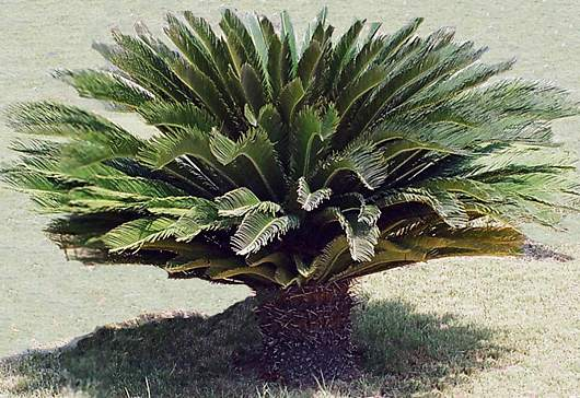 Cycas consigli coltivazione e cura for Pianta palma