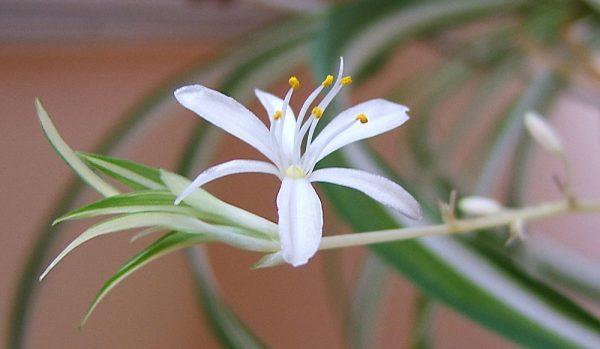 Chlorophytum o Nastrino