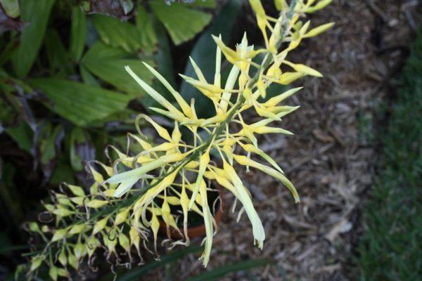 pitcairnia_xanthocalyx