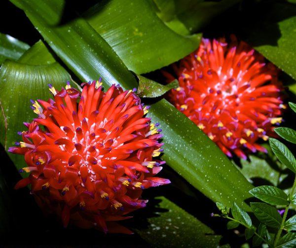 Particolare della fioritura a grappolo della Billbergia Pyramidalis (Bromeliaceae)