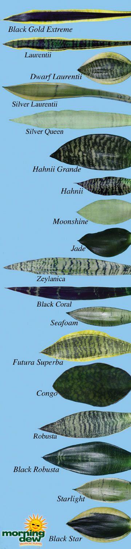 cultivar Sansevieria trifasciata