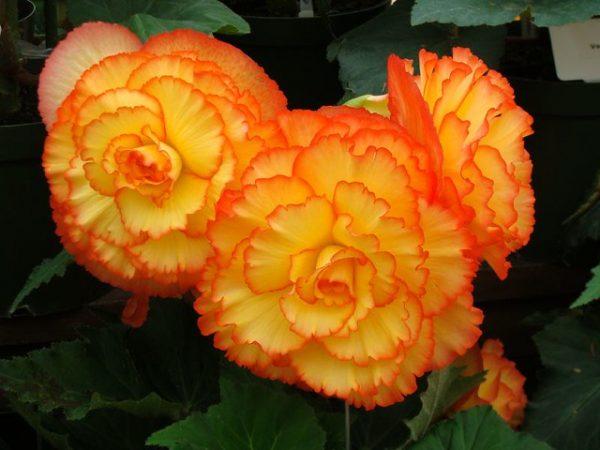 fioritura begonia