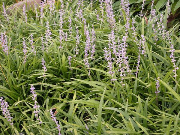 Fioritura Liriope spicata