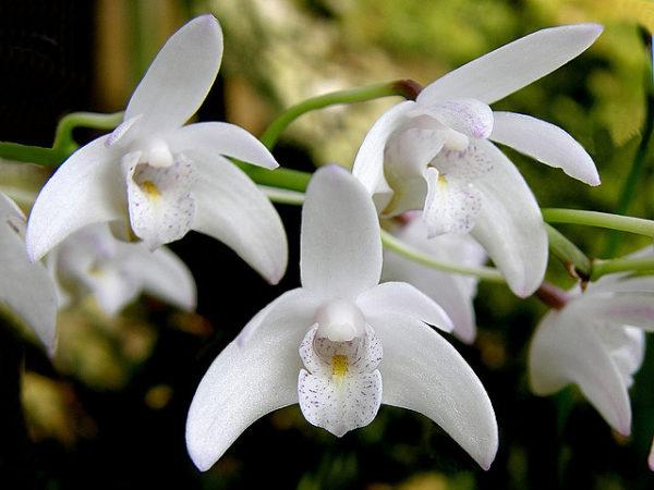 Fioritura Dendrobium
