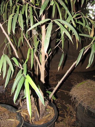 Ficus maclellandii con foglie secche