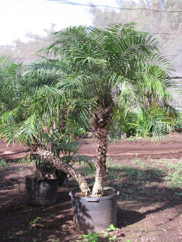 Palma da datteri nana o robellina phoenix roebelenii for Palma pianta