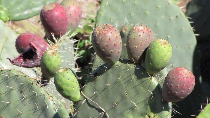 6 Talee Opuntia Ficus Indica Senza Spine