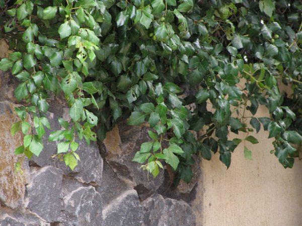 Rhoicissus Rhomboidea