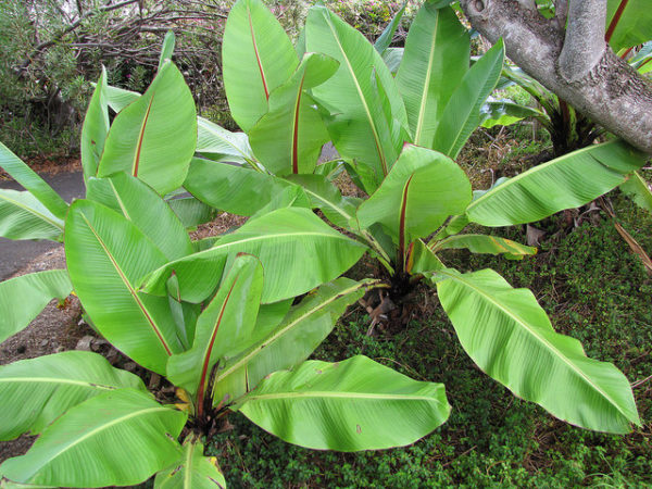 banano nano, Musa ventricosum