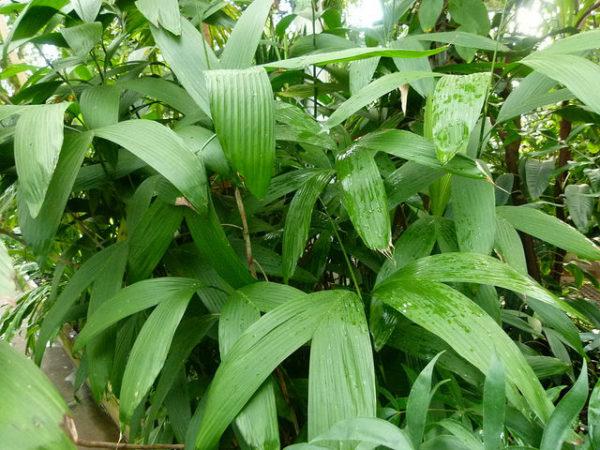 Chamaedorea fragrans