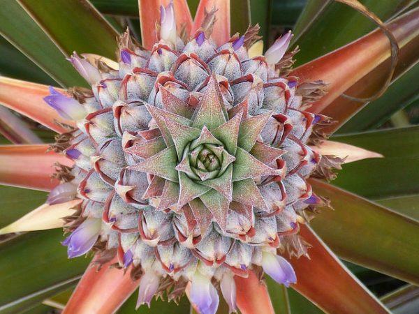 ananas comosus colori