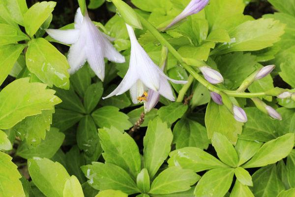 fioritura Hosta