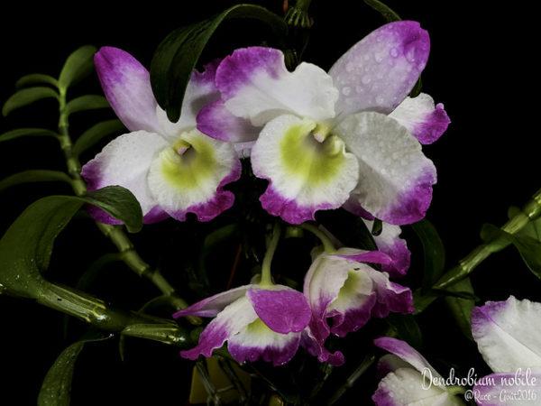 Fiori bagnati Dendrobium nobile