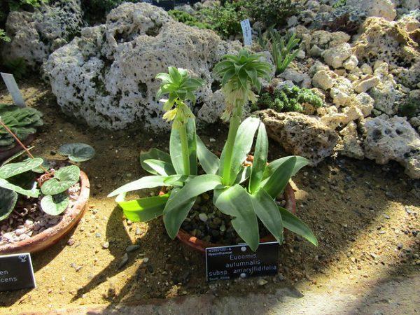 coltivazione Eucomis Amaryllidifolia