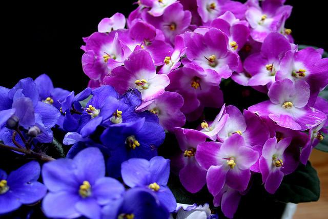 Violetta africana saintpaulia ionantha consigli for Violetta africana
